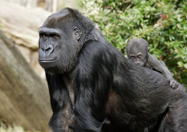 Baby gorilla rides on mother's back