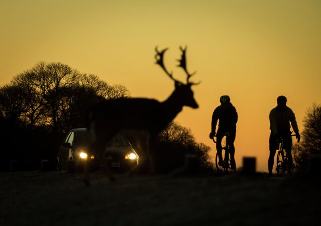 A car and two cyclists wait for deer to cross the road
