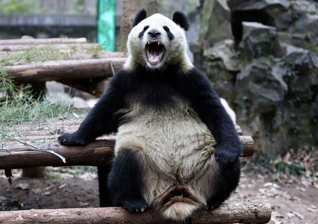 A giant panda opens its mouth