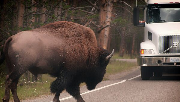 Crossing  from Yellowstone a couple years ago - Sputnik International