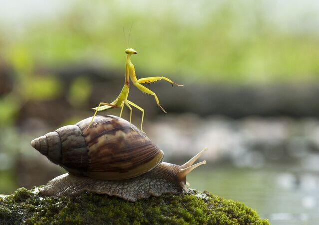 This praying mantis looks like a jockey as it rides a snail using a technique akin to a Grand National winner.