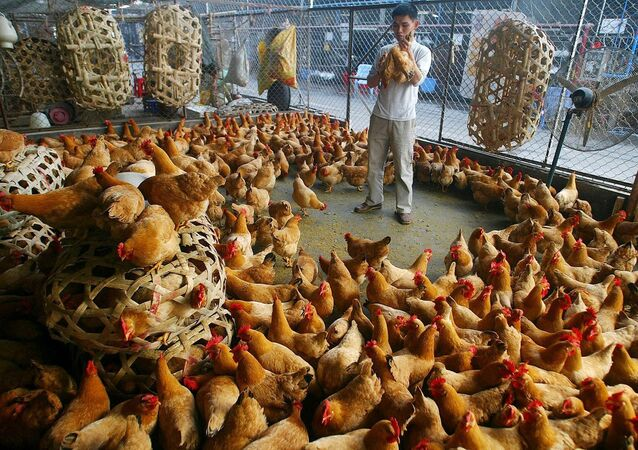 A poultry vendor selects chickens at a poultry market on Thursday, March 9, 2006 in Guangzhou, capital of southern China's Guangdong province