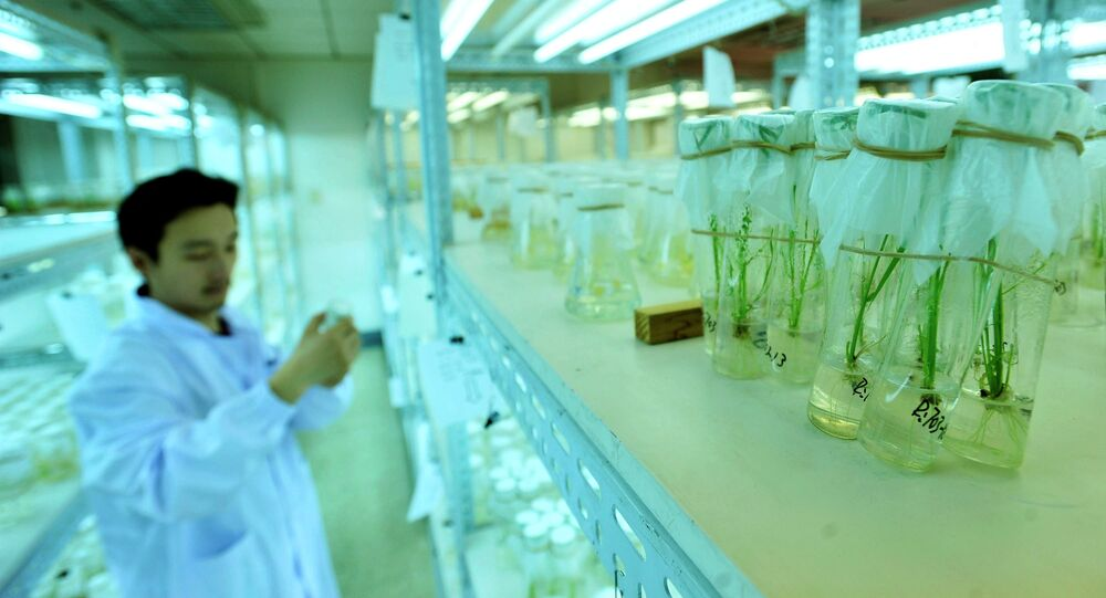 A Chinese researcher runs tests on two strains of genetically-modified rice which were approved for open-field experiments, at a laboratory in Wuhan, central China's Hubei province.