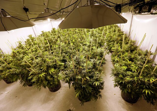 Pot Plants Sit Under Powerful Growing Lamps