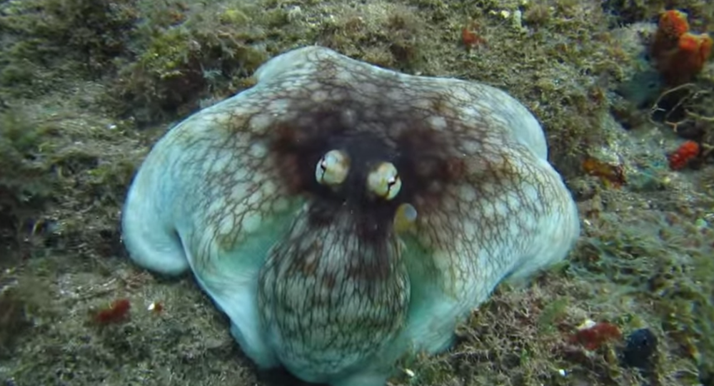 Diver, Jonathan Gordon, catches the stunning moment an octopus appears seemingly out of nowhere. I had literally no idea he was there until I was about a metre away, he writes about the moment this video was taken.
