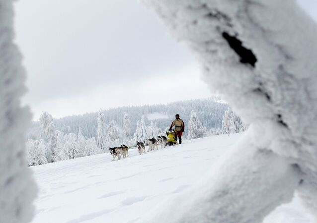 A musher with his dogs