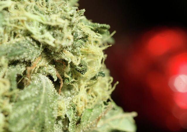 Marijuana may be legalized