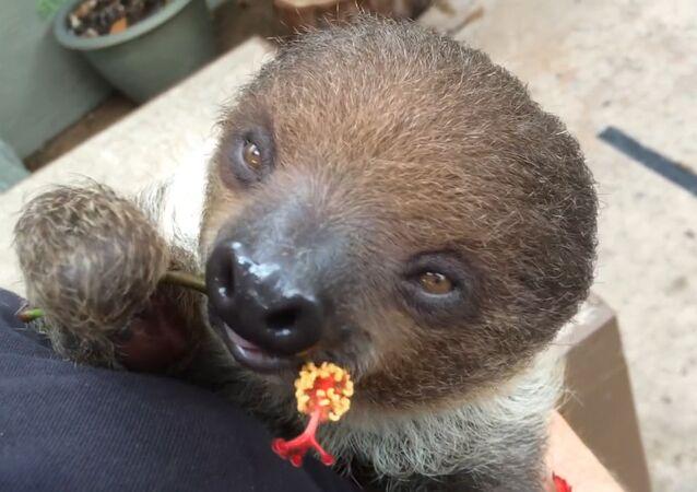 Happiness Incarnate: Sleepy Baby Sloth Eats Hibiscus Flowers