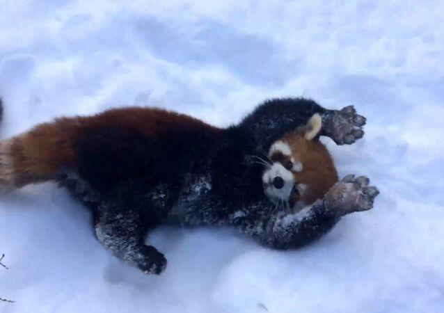 Red Pandas Enjoying a Snow Day