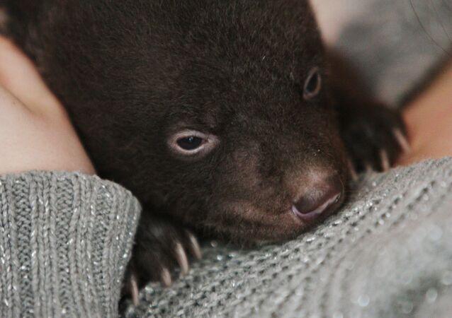 Newborn Asian Black Bear Cub Abandoned at Circus Doorsteps
