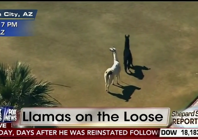 Screenshot from a Fox News broadcast of a llama chase in Arizona
