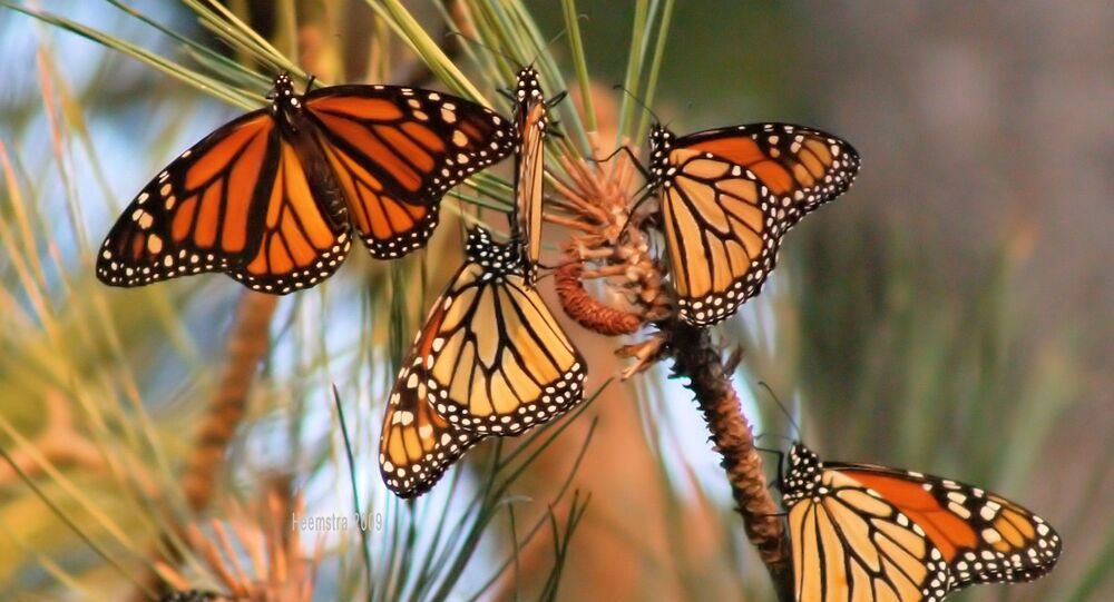 The monarch butterfly population has decreased by about 950 million butterflies since 1997.