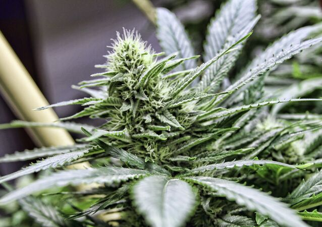 Indian tribes have the ability to legalize and regulate marijuana on reservations.