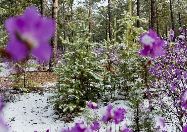 Early flowers of Dahurian rhododendron covered with snow in a forest of the Zabaikalye Territory.