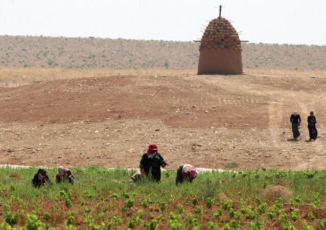 Women farmers work at Omar Zumot organic wine vineyard in Sama al-Sarhan, northern Jordan