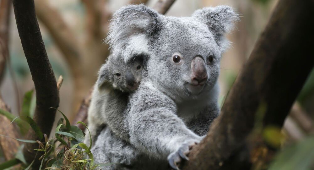 Authorities in southeastern Australia have killed nearly 700 koalas due to the animals' alleged overpopulation.
