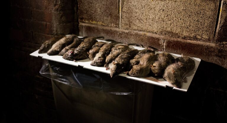 Black Death on Subway: NYC Rats Carry Fleas Blamed for ...
