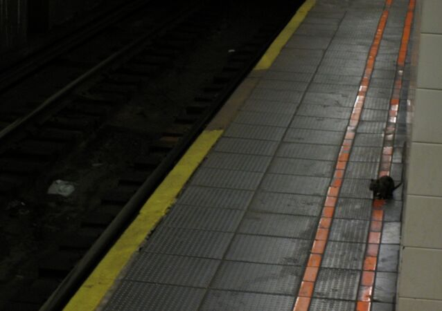 Yersinia pestis,the plague bacteria, was found in the New York Subway system.