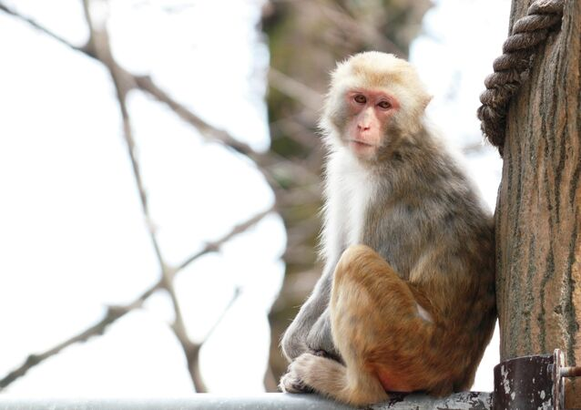 Several rhesus macaques monkeys that were securely contained in a lab located in another building on the same campus, somehow contracted the bacterial infection.