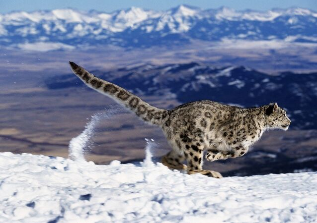 Snow Leopard Running through Mountains