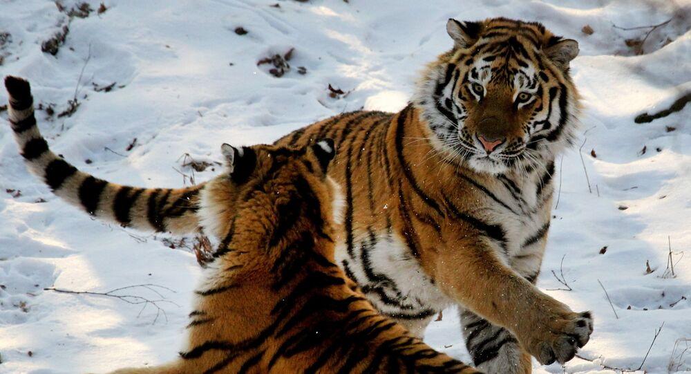 Amur tigers in Primorye safari park
