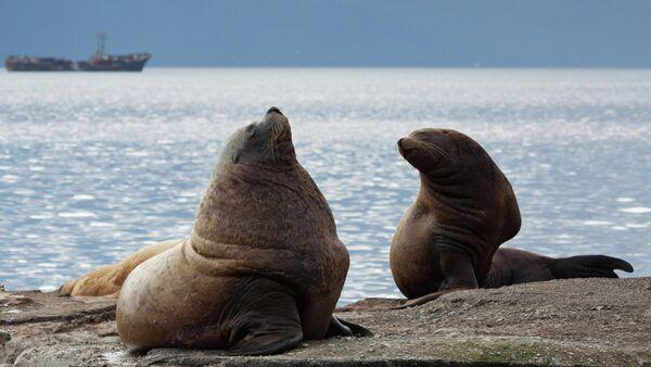 Steller sea lions haul out on a breakwater in Petropavlovsk-Kamchatsky - Sputnik International