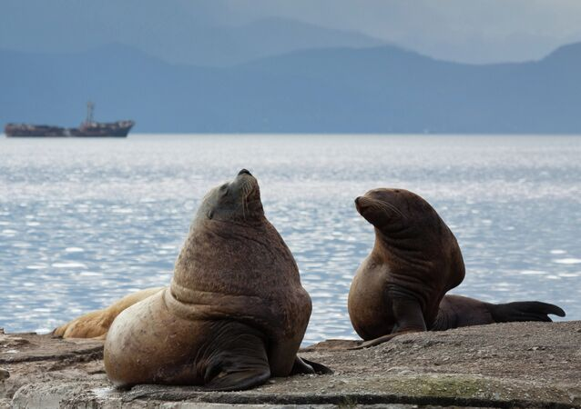 Steller sea lions haul out on a breakwater in Petropavlovsk-Kamchatsky
