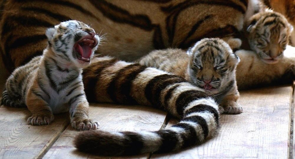 Three tiger cubs are seen near their mother