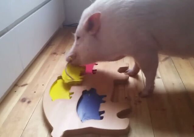 Pigs Still Don't Fly, But They Sure Can Solve Puzzles