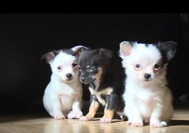 'Hitler' Chihuahua Puppy Assaults Curtain