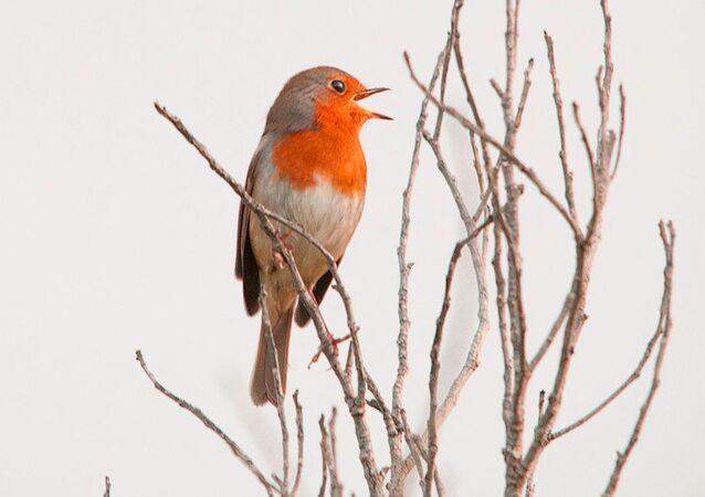 European robin, Cyprus