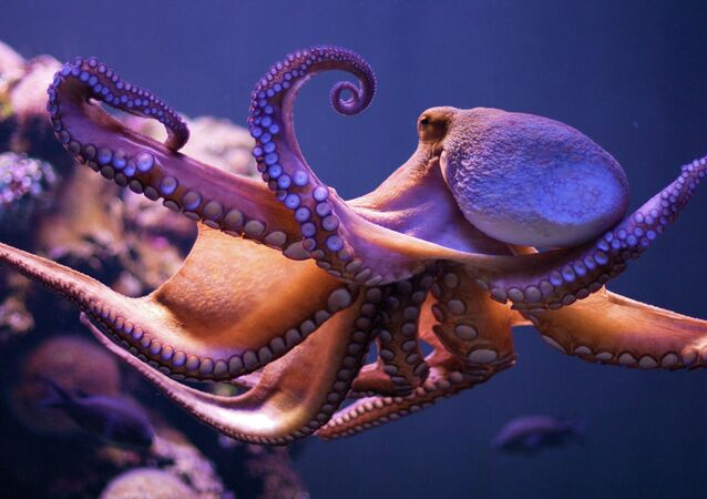A new study shows how the blood of an octopus is especially suited not only for freezing waters, but can also adjust to warmer waves.