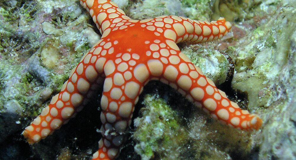 A Pearl Sea Star in Aqaba Marine Park