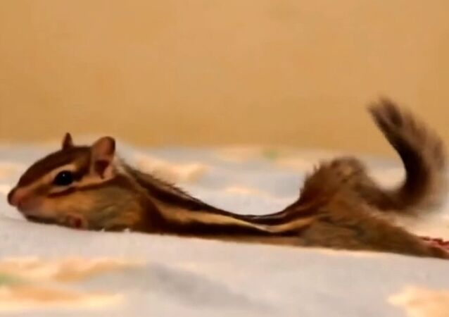 How domestic chipmunks wake up?