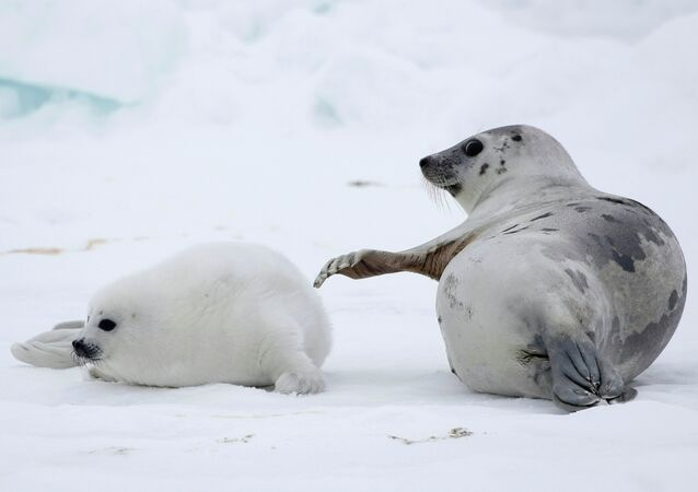 A mother seal plays with a baby seal on the ice of the White Sea in Arkhangelsky region about 1300 km (812 miles) from Moscow, Russia