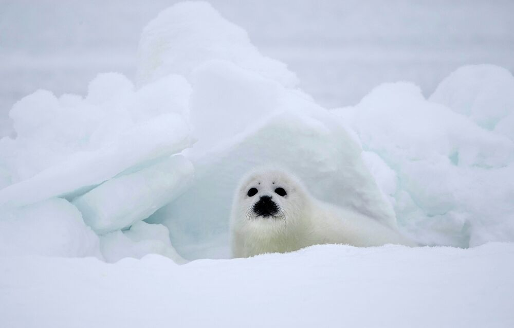 Seal Pup Protection Day: Spare My Life, Do Not Club!