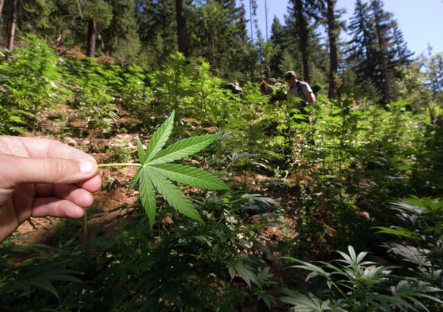 Marijuana Field in North Cascades National Park