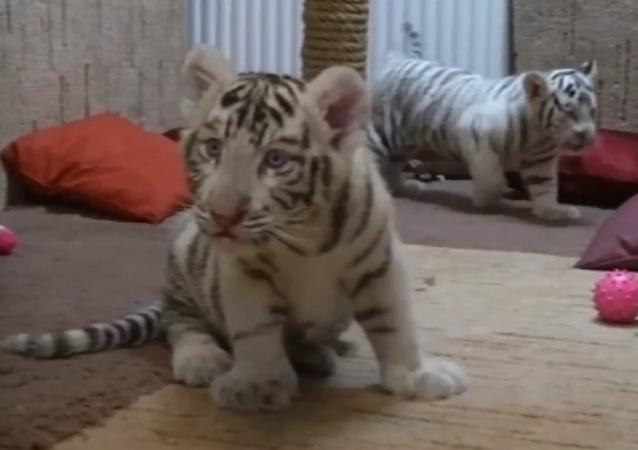 Rare White Tiger Cubs at Hungarian Zoo
