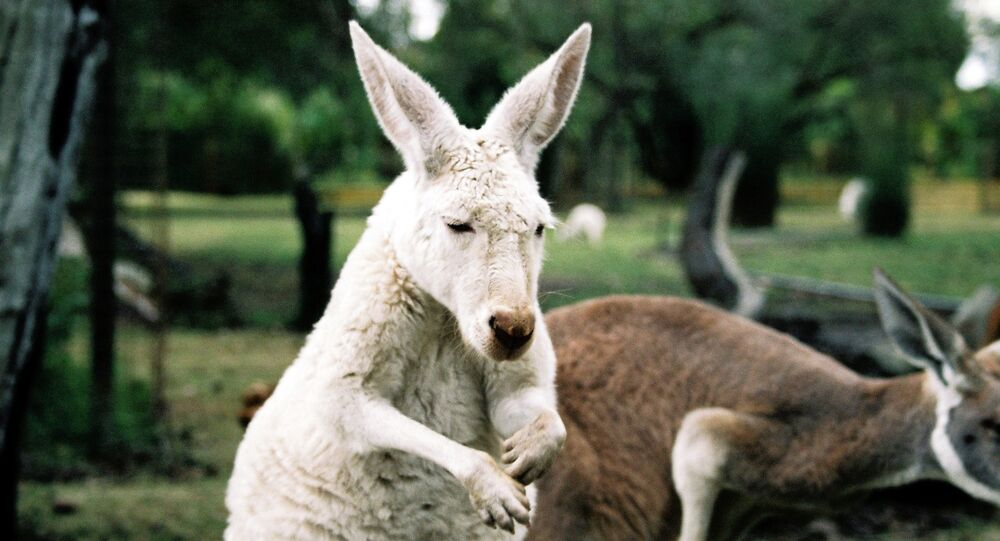 Albino kangaroos are rare and while they stand out in the natural world, it unfortunately atrracts the unwanted attention of predators.