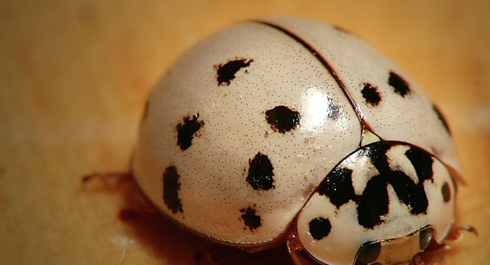 Commonly known as the harlequin ladybird, this beetle occurs in numerous colour forms and white is one of them.