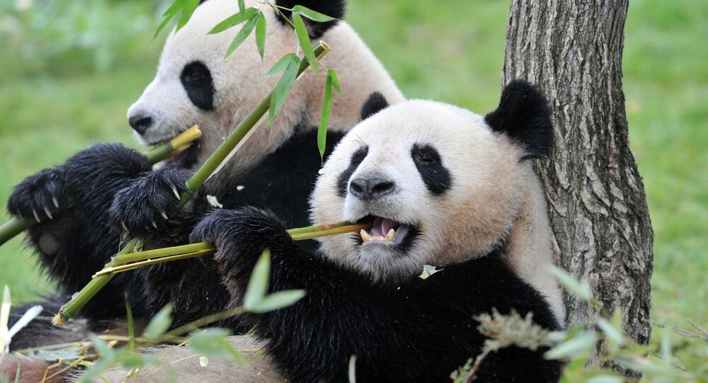 The female Huan-Huan (R) and male Yuan-Zi pandas, two giant pandas recently arrived from China, are pictured on February 18, 2012