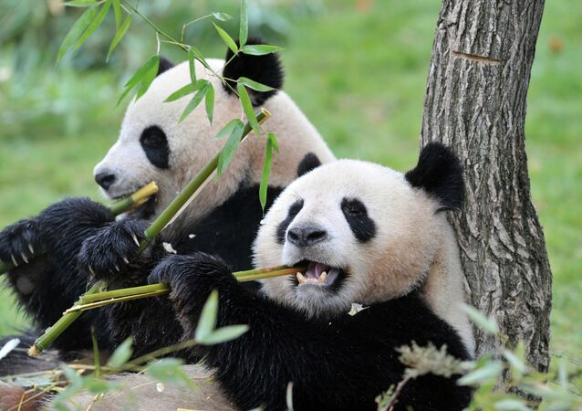The female Huan-Huan (R) and male Yuan-Zi pandas, the two giant pandas recently arrived from China, are pictured on February 18, 2012