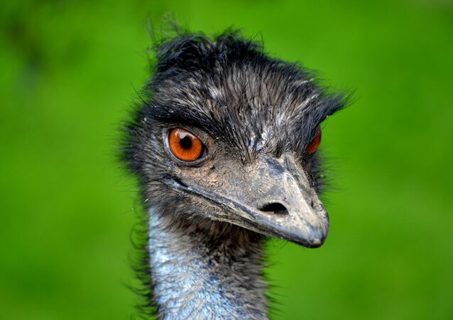 It is believed that the emu is a survivor of prehistoric times and dates back some 80 million years roaming the outback of Australia. The Aborigine tribes relied upon the emu for their existence.