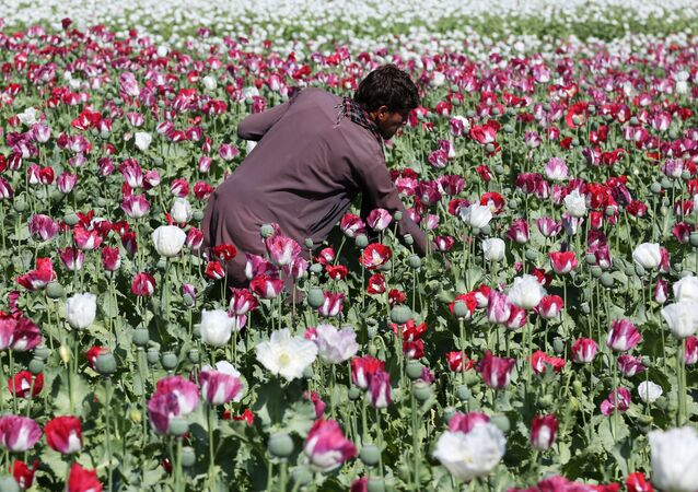 An Afghan farmer works on a poppy field collecting the green bulbs swollen with raw opium, the main ingredient in heroin.