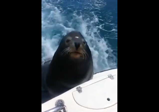 Unexpected Free Riders: Seals Chill Hitching to Speedboat