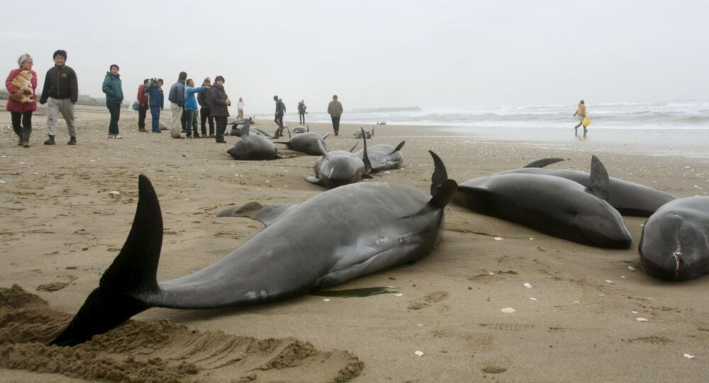 Local residents try to save melon-headed dolphins stranded on the coast in Hokota, northeast of Tokyo, in this photo taken by Kyodo