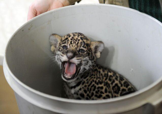 A one-month-old jaguar cub