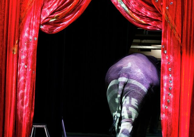 An elephant walks off the stage after a media availability before a performance of the Ringling Bros. and Barnum & Bailey Circus, Thursday, March 19, 2015 in Washington.