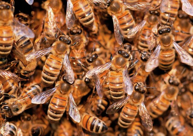 Wild bees, Apidae, Brazil, Pantanal