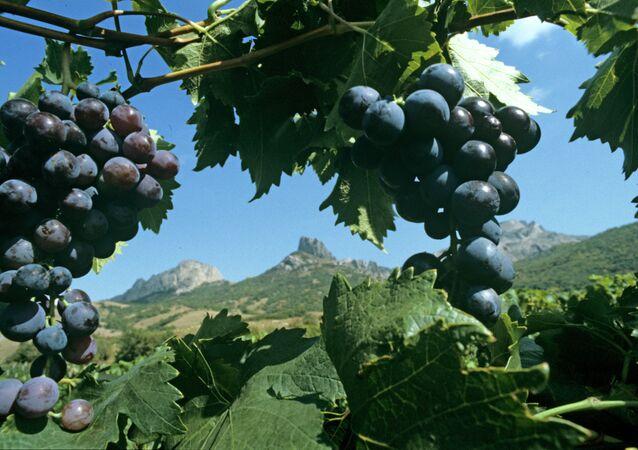 The famous Muscat Hamburg grapes on the plantations of Koktebel, Crimea